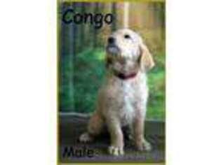 Labradoodle Puppy for sale in Spokane, WA, USA