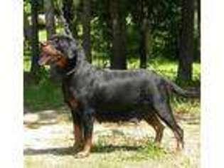 View Ad Rottweiler Puppy For Sale North Carolina Zebulon Usa