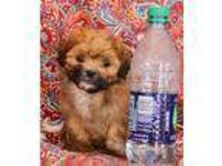 Puppyfindercom View Ad Photo 1 Of Listing Shih Poo