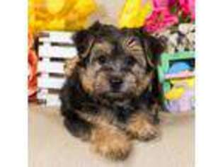 Yorkie breeders in youngstown ohio