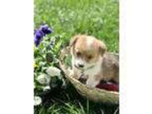 Pembroke Welsh Corgi Puppy for sale in Unknown, , USA