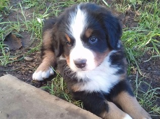 View Ad Bernese Mountain Dog Puppy For Sale Oregon Eugene