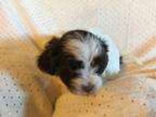 View Ad Havanese Puppy For Sale Texas Collinsville Usa