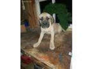 Mastiff Puppy for sale in Spencerville, IN, USA