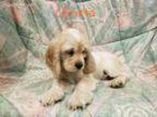 View Ad Cocker Spaniel Puppy For Sale North Carolina Supply Usa