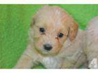 View Ad Goldendoodle Puppy For Sale Ohio Harrison Usa