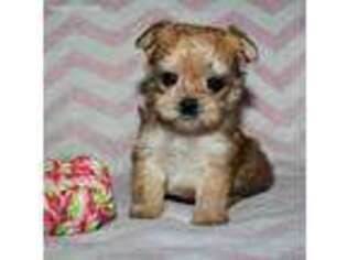 Mutt Puppy for sale in Shipshewana, IN, USA