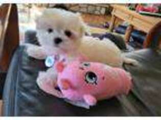 Maltese Puppy for sale in Santa Clarita, CA, USA