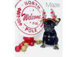 French Bulldog Puppy for sale in Murfreesboro, TN, USA
