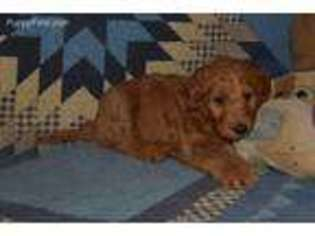 View Ad Goldendoodle Puppy For Sale Near Missouri Wheaton
