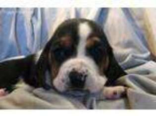 Basset Hound Puppy for sale in Drumore, PA, USA