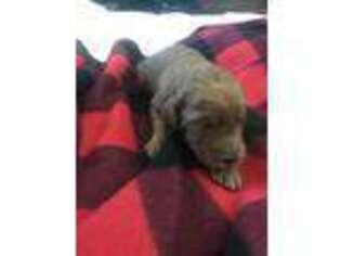 Puppyfinder com: Puppies puppies for sale near me in Caddo Mills
