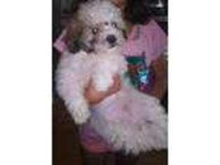 Mal-Shi Puppy for sale in Salem, MA, USA