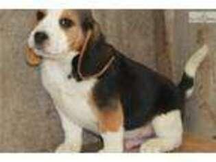Beagle Puppy For Sale near Jonesboro, AR, USA