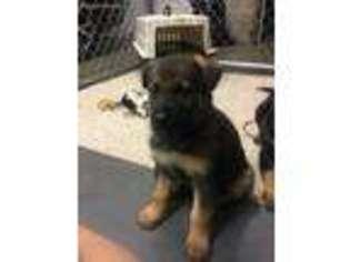View Ad German Shepherd Dog Puppy For Sale Maine Sanford Usa