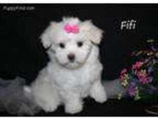View Ad Maltese Puppy For Sale Iowa Leon Usa
