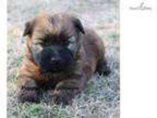 View Ad Soft Coated Wheaten Terrier Puppy For Sale Oklahoma Tulsa