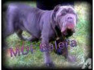 Puppyfinder com: Neapolitan Mastiff puppies puppies for sale near me