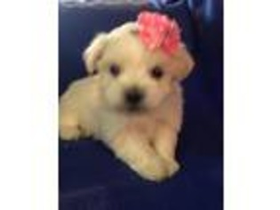 View Ad Havanese Puppy For Sale South Carolina Seneca Usa