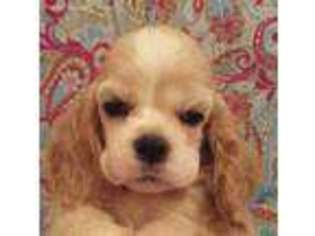 View Ad Cocker Spaniel Puppy For Sale North Carolina Brevard Usa