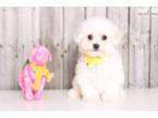 View Ad Bichon Frise Puppy For Sale Ohio Columbus Usa