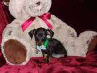 Dachshund Puppy for sale in Polk City, FL, USA