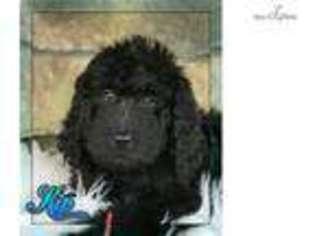 View Ad: Newfoundland Puppy for Sale near Ohio, Canton, USA