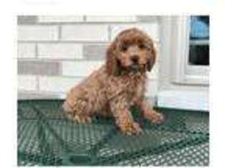 View Ad: Cock-A-Poo Puppy for Sale near Rhode Island