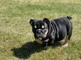 Bulldog Puppy for sale in Ball Ground, GA, USA