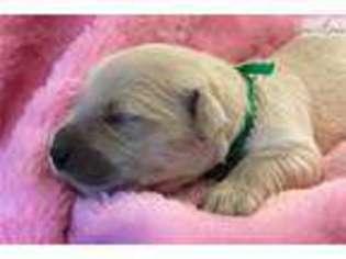 View Ad Golden Retriever Puppy For Sale Arkansas Little Rock Usa