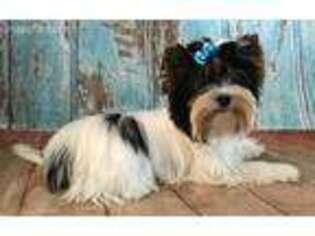 Puppyfinder com: Biewer Terrier puppies puppies for sale and