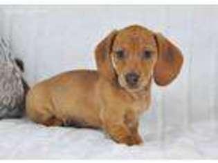 View Ad Dachshund Puppy For Sale Michigan Battle Creek Usa