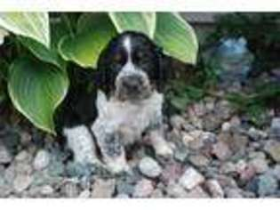 View Ad: English Springer Spaniel Puppy for Sale near Wisconsin