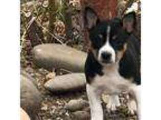 Rat Terrier Puppy For Sale near Gardnerville, NV, USA