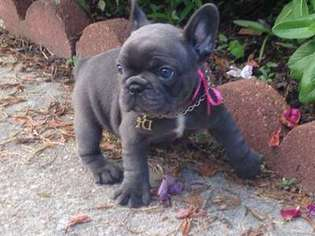 View Ad French Bulldog Puppy For Sale Near Texas Houston Usa Adn