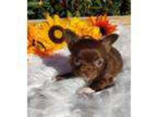Chihuahua Puppy for sale in Mechanicsville, VA, USA