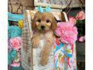 Puppyfinder com: Cavapoo puppies puppies for sale near me in