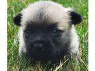 Cairn Terrier Puppy for sale in Grand Saline, TX, USA