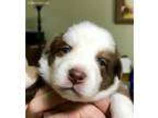 Australian Shepherd Puppy For Sale near Grand Ronde, OR, USA