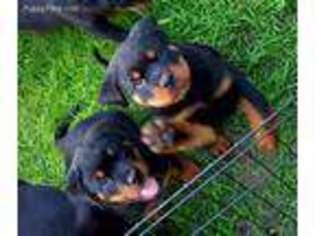 View Ad Rottweiler Puppy For Sale New York Schenectady Usa