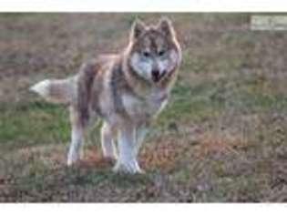 Puppyfinder com: Siberian Husky puppies puppies for sale