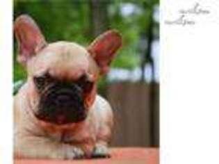 Medium Photo #1 French Bulldog Puppy For Sale in New York, NY, USA
