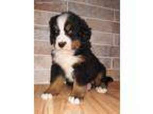 View Ad Bernese Mountain Dog Puppy For Sale Near Illinois