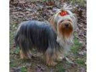 View Ad Yorkshire Terrier Puppy For Sale Arkansas Evening Shade Usa