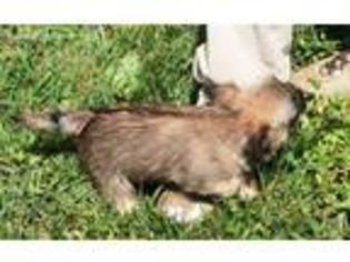 Free Cairn Terrier Puppies - Goldenacresdogs com