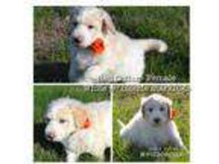 Puppyfinder com: Puppies for sale near me in Rhome, Texas