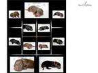 Puppyfinder com: Doberman Pinscher puppies puppies for sale