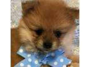 View Ad Pomeranian Puppy For Sale Tennessee Chuckey Usa