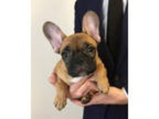 French bulldog puppies for sale brooklyn ny