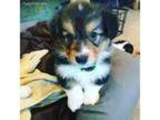 Pembroke Welsh Corgi Puppy for sale in Wilton, ND, USA